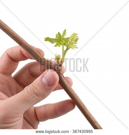 The Process Of Growing Grapes Saplings From The Vine. A Vine Of Grapes In The Hand On A White Backgr