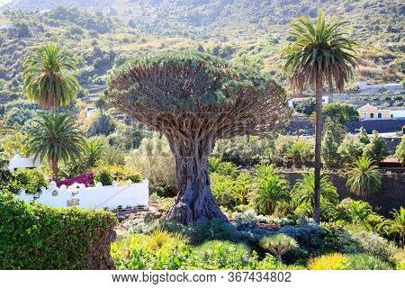 Canary Islands Dragon Tree El Drago Milenario In Park Parque Del Drago, Icod De Los Vinos On Canary