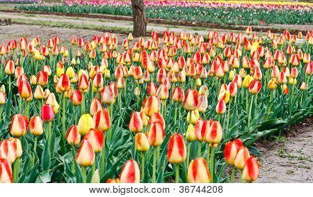 Tulip-Garten