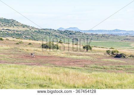 A Llama On The Eland Hiking Trail At Eingedi Near Ladybrand
