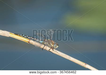 A Migrant Hawker Dragonfly (aeshna Mixta) Sitting On A Dry Reed, Sunny Day In Autumn