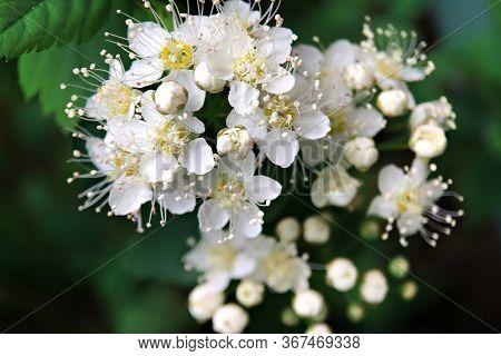 Background Of White Small White Flowers. Fruit Flowering Tree. Full Bloom.