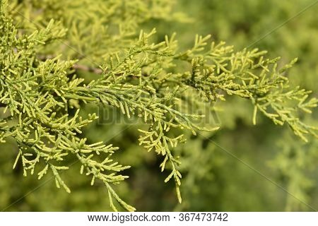 Chinese Juniper Old Gold Branch - Latin Name - Juniperus Chinensis Old Gold