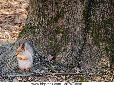 Thick Fat Red Squirrel Is Offended And Stands