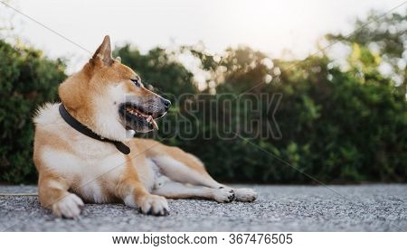 Japanese Dog Rest On Background Green Landscape, Chilling Shiba Inu Leisure On Park, Pet Relaxing On