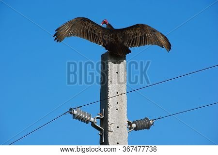 Turkey Vulture (griffin) A Scavenging Bird In The Family Of New World Vultures, Is Perched On A Conc