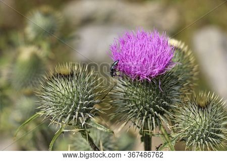 Wild Scottish Thistle (saint Mary's Thistle, Marian Scotch Thistle). Beautiful Purple Flower Protect