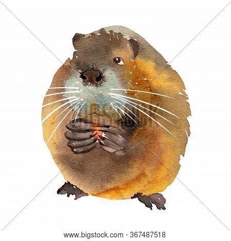 Funny Brown Muskrat Nibbles Food. Watercolor Illustration Isolated On A White Background
