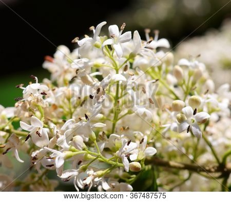 Small White Flowers Of Plant Called Privet Used As A Hedge In Many Gardens