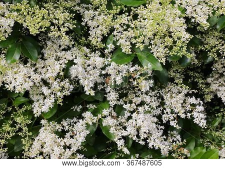 Many White Small Flowers Of Privet A Flowering Plant In The Genus Ligustrum In Spring