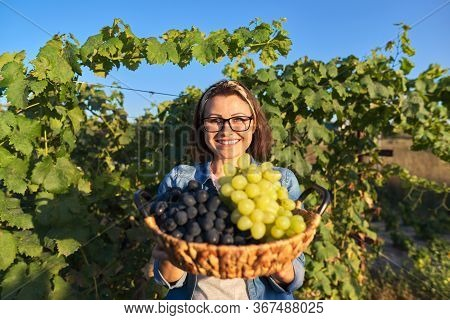 Portrait Of Happy Woman With Basket Of Grapes. Female In Vineyard With Crop Of Green And Blue Grapes