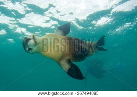 Sea lion with person snorkeling in background