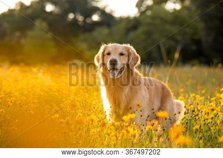 Golden Retriever In The Field With Yellow Flowers. Beautiful Dog With Black Eye Susans Blooming. Ret