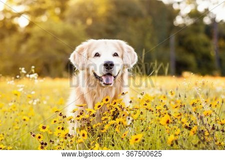 Senior Golden Retriever In The Field With Yellow Flowers. Beautiful Dog With Black Eye Susans Bloomi