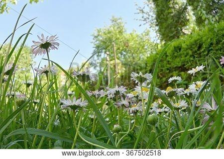 Bunch Of Common Daisy Flowers In Garden