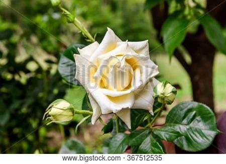 The White Cream Rose On Natural Green Background.