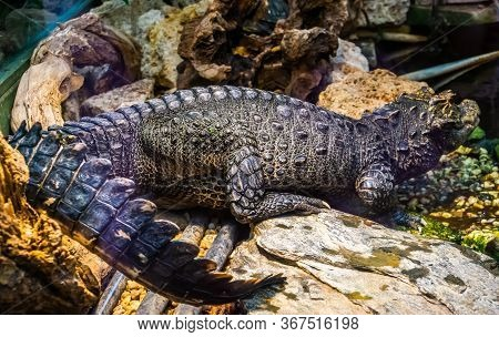 Full Body Portrait Of An African Dwarf Crocodile, Vulnerable And Tropical Reptile Specie From Africa