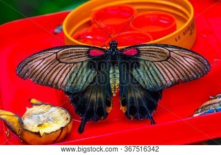 Beautiful Closeup Of A Common Mormon Butterfly, Colorful Tropical Insect Specie From Asia