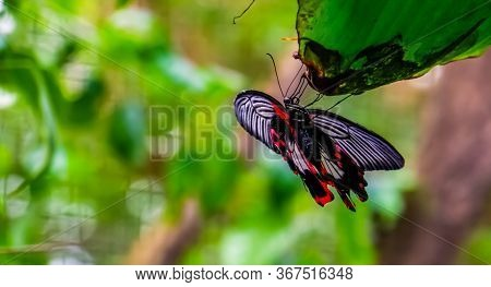 Ventral View Of A Common Mormon Butterfly, Colorful Tropical Insect Specie From Asia