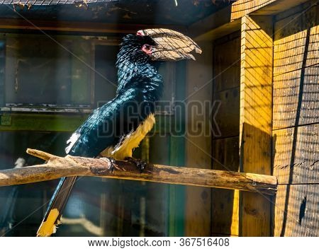 Portrait Of A Trumpeter Hornbill Bird In The Aviary, Tropical Animal Specie From Africa