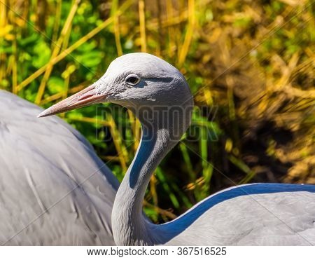 Closeup Of A Blue Paradise Crane, Vulnerable Bird Specie From Africa