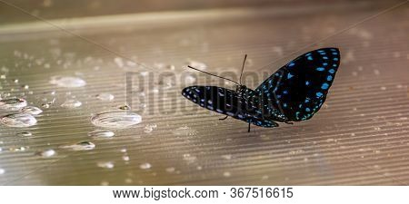 Beautiful Macro Closeup Of A Blue Spotted Black Butterfly, Tropical Insect Specie From Costa Rica, A