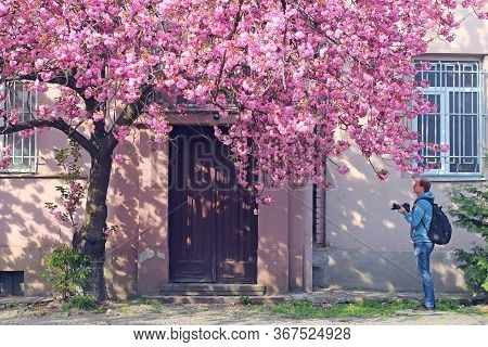 Uzhgorod, Ukraine - April 11, 2019: Man With Photo Camera Near Pink Sakura (flowering Cherry) Bloomi