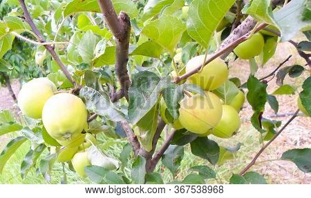 Green Apple Weigh On A Tree, Branch Of Apple Tree. Apple Tree In The Garden With Juicy Apples.