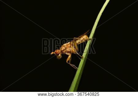 A Resting Marsh Fly. Marsh Flies Belong To The Sciomyzidae Family And Are Considered Snail-killers S