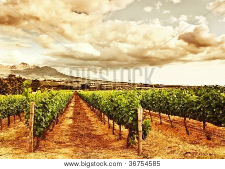 Image of grape valley, harvest season, beautiful sunset over vineyard, plantation of fruits, winery farm, retro autumn background, grapes garden landscape, agricultural countryside