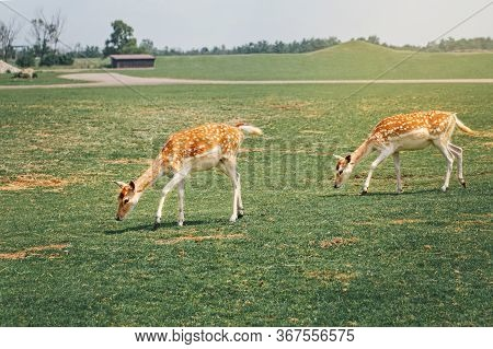 Group Of Young Fallow Deer Eating Grazing Grass On Summer Outdoor. Herd Animals Dama Dama Feeding Co