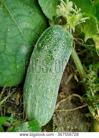 Cucumber With Flower , Agriculture In Bihar India