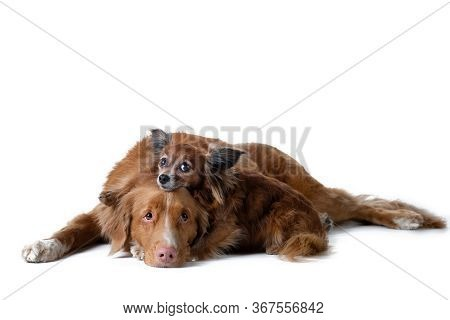 Two Red Dogs, Big And Small Together. Nova Scotia Duck Tolling Retriever, Russian Toy Terrier. Pet O