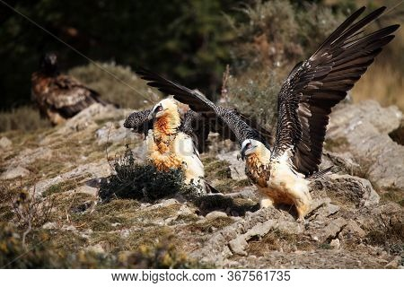 The Bearded Vulture (gypaetus Barbatus), Also Known As The Lammergeier Or Ossifrage On The Feeder. A