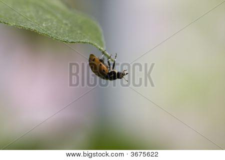 Ladybug Hanging