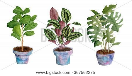 Watercolor Hand Drawn Illustration Elemens Of Potted Indoor Flowers. Monstera Ficus Fiddle Leaf Tree
