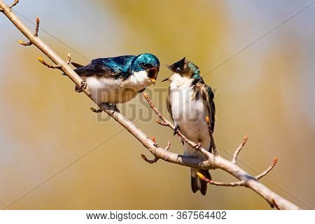 Cute Tree Swallow Birds Couple Mating Close Up Portrait In Spring