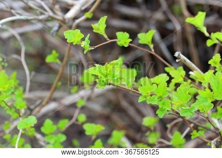 Fashionable Shoots Of Leaves On Trees And Shrubs. The Concept Of The Beginning Of Spring, New Ideas