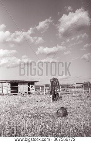 Old Horse With Caparison On The Spring Grass In The Farm. Black White.