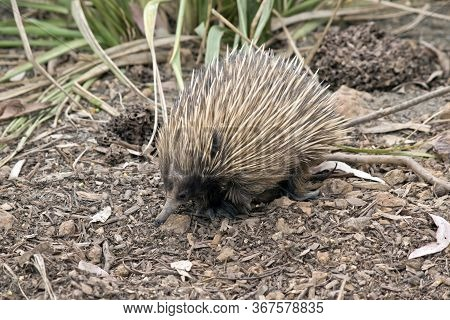 The Short Nosed  Echidna  Is Covered In Cream Quills For Potection And Has A Long Nose