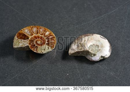 The Ammonites, Ammonoidea Are An Extinct Subgroup Of Cephalopods Photographed In The Studio