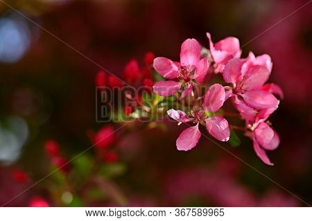 Beautiful Blossom Tree. Nature Scene With Sun On Sunny Day. Spring Flowers. Abstract Blurred Backgro