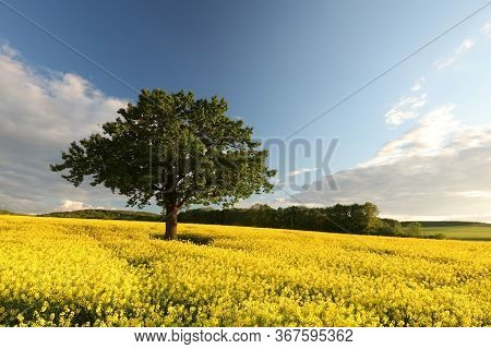 Countryside Tree Nature Oilseed field spring Nature landscape Nature sunrise sunset Nature landscape landscape Nature background landscape Nature background Nature landscape Nature background landscape Nature landscape rape landscape Nature background.