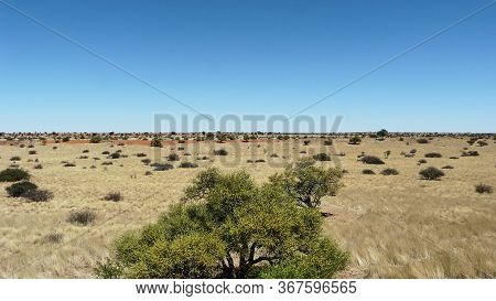 Landscape View Of Open Grassland Plains Or Savannah In The Kalahari, Namibia On A Sunny Blue Sky Day