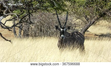 Gemsbok Or South African Oryx Standing In Savannah Grassland In A Game Park In Namibia In Tall Dried