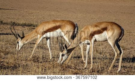 Two Gazelles Grazing In Savannah, Eating Rare Withered Grass. Viewed From The Side In Close-up From