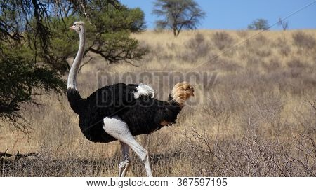 Ostrich In The Savannah Of Namibia In Front Of A Tree And A Hill.