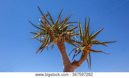 Leaves Of The Quiver Tree, Aloe Dichotoma, Namibia Against A Sunny Blue Sky With Copy Space