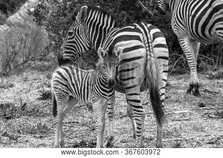 Black And White Image Of A Mother Zebra Standing Next To Her Foal. South Africa.