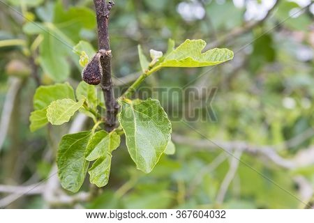Fig Flower Tree Disease. Dried Small Dark Brown Fig Close To Baby Fresh Fruit. Selective Focus